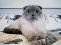 Scottish fold ищет жениха Scottish straight