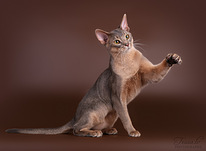 Abyssinian cat for mating