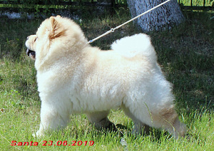 Chow chow puppy light cream color