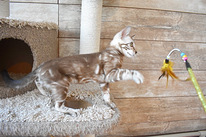 Bengal boy kitten snow mink marble color